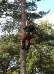בזמן גיזום עצים