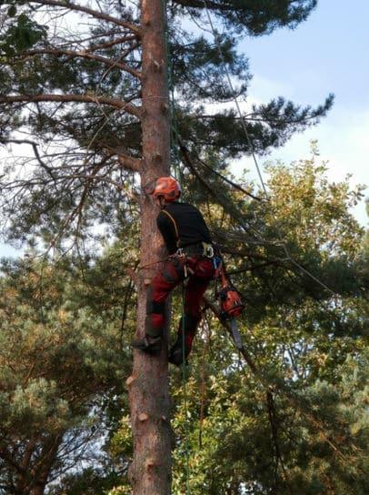 גיזום עצים גבוהים