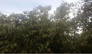 גיזום עצי פיקוס