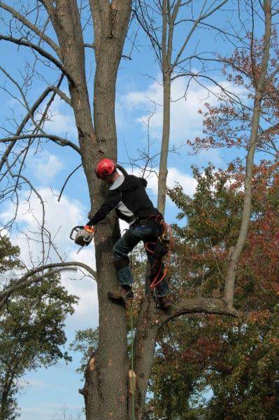 גיזום של עץ