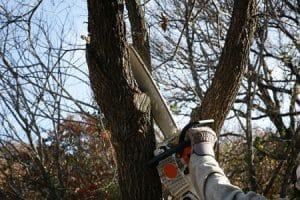 כריתת עצים שהתייבשו