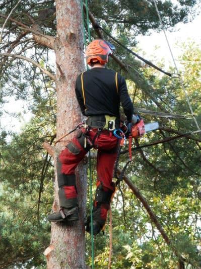 מתמקמים על העץ לפני גיזום