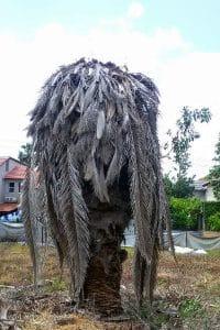 עץ דקל שצריך לכרות