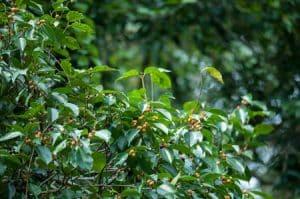 עץ פיקוס