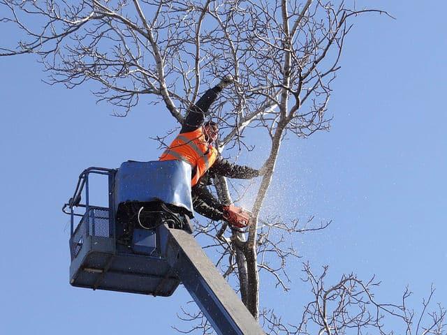 גיזום לפני עקירת עץ