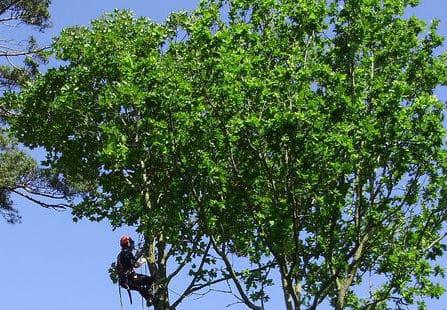 גיזום עצים בהרצליה