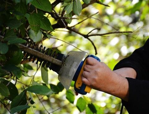 גיזום עצים מודיעין - גיזום פיקוס בעיר מודיעין