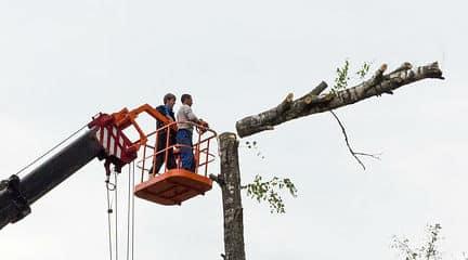 כורתים עץ בכפר סבא