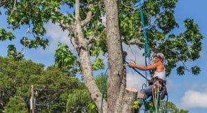 גיזום עצים בשפלה