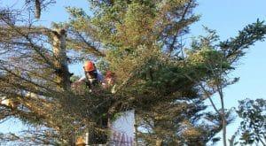 כריתת עצים בשפלה