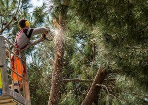 כריתת עצים - ב'גיזום פלוס' כורתים עצים בבית שמש