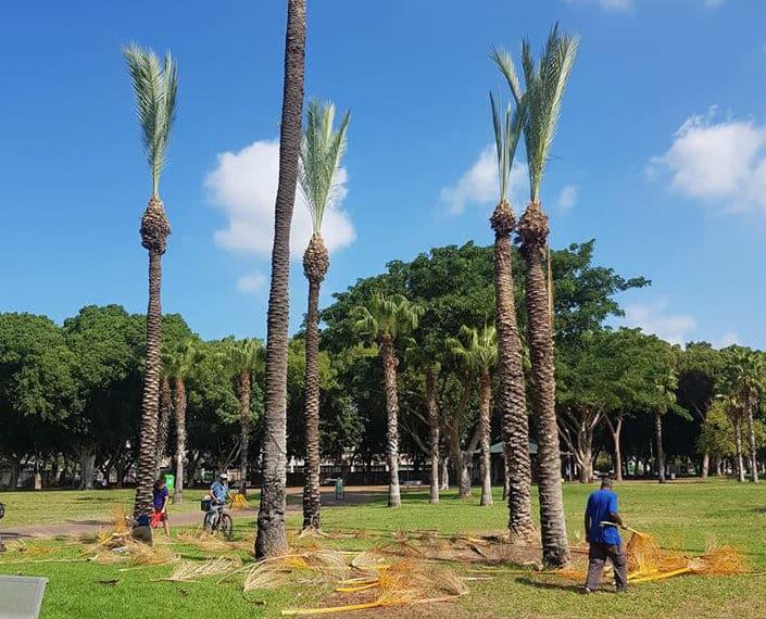 גיזום עצים באזור גבעתיים
