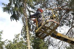 כריתת עץ עם מנוף - בגיזום פלוס כורתים עצים מכל הסוגים בגבעתיים