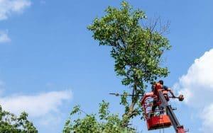 גיזום של עץ בגובה עם מנוף