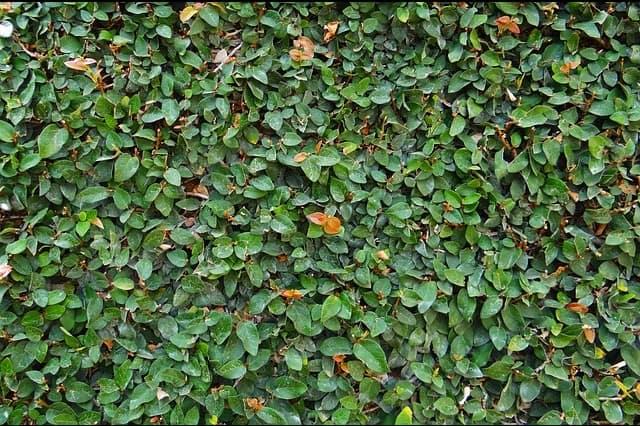 גדר פיקוס לאחר גיזום