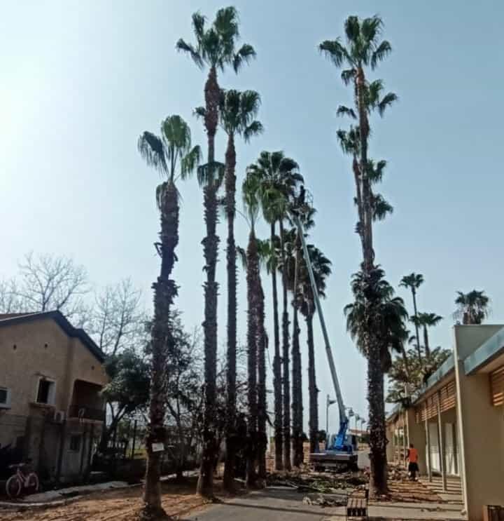 גיזום בגובה של שדרת עצים