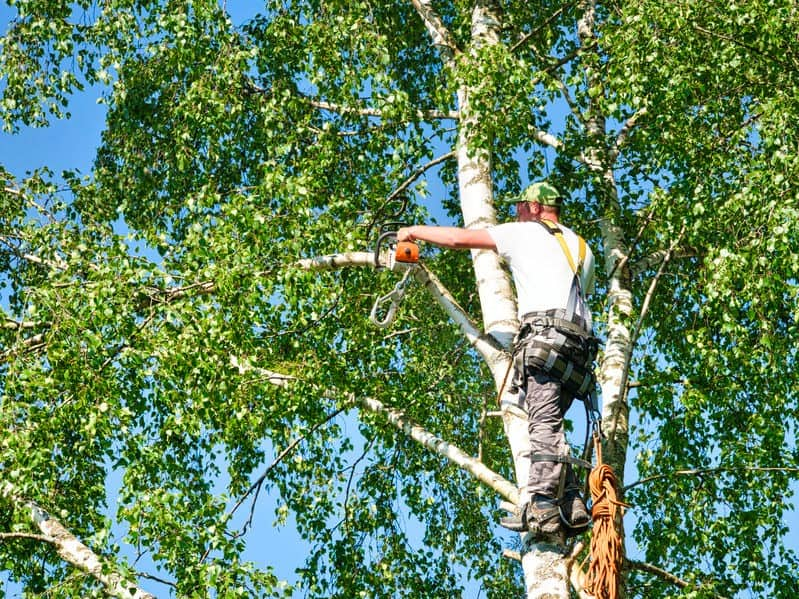 גיזום עץ עם גוזם