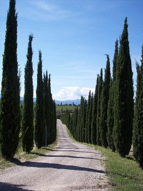 עצי ברוש